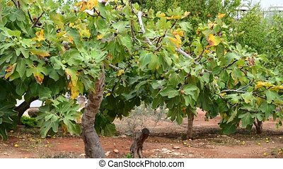 Fig tree with unripe fruits in nature - A fruits of fig tree...