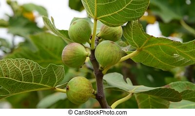 Fig tree with unripe fruits in the garden - A fruits of fig...
