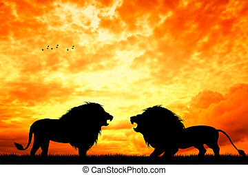 fight between lions - illustration of fight between lions
