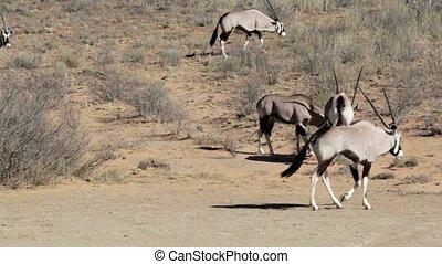 fight between two male Gemsbok, Oryx gazella,dominant...