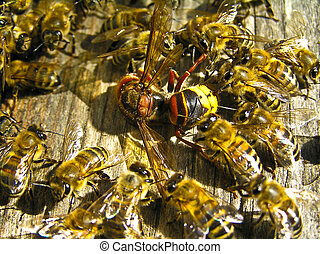 Fight of kinds - A hornet tried to get to the beehive, where...