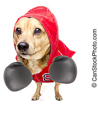 fighter dog - a cute dachshund fighter