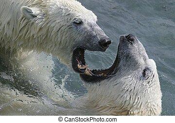 fighting bears - taken in cochrane ont