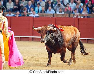 Fighting brown young bull running at matador.