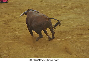 Fighting bull picture from Spain