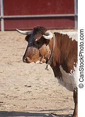 Fighting bull