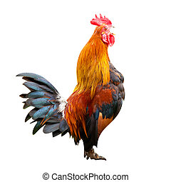 Fighting cock isolated on white