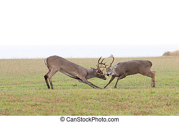 Fighting Deer - A photo of two white tail deer fighting.