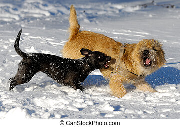 Dogs are fighting and playing in the snow. Motion blur. The breed of the dogs are a Cairn Terrier and the small dog is a mix of a Chihuahua and a Miniature Pinscher.