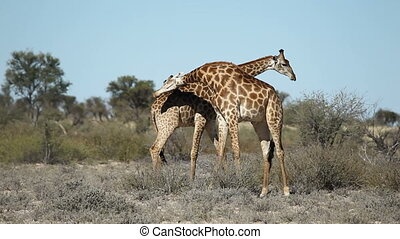 Fighting giraffes - Two giraffe bulls (Giraffa ...