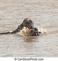 Fighting hippos - A pair of young adult hippos fighting in...