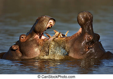 Fighting Hippo's - Two fighting hippos; Hippopotamus...