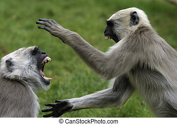 Two monkeys fighting each other