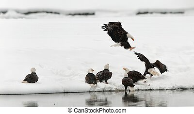 Fighting of Bald eagles (Haliaeetus leucocephalus) - Bald...