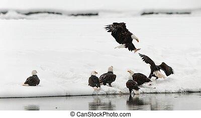 Fighting of Bald eagles (Haliaeetus leucocephalus) - Bald...