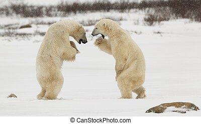 Sparing polar bears. Two polar bears play fighting. Polar bears fighting on snow have got up on hinder legs.