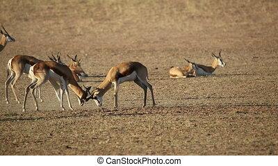 Fighting springbok antelopes - Springbok antelopes...