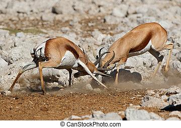 Fighting springbok antelopes