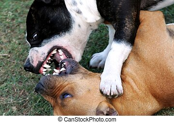 Two Staffordshire terriers showing their teeth as they try to bite