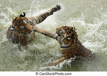 Fighting tigers in a water