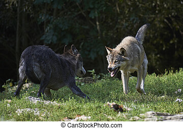 Fighting wolves - Two wolves fighting for food