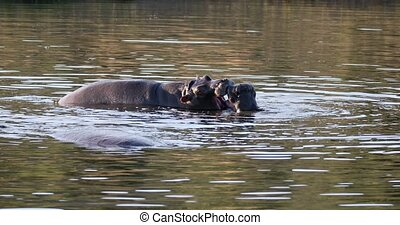 Two young male hippopotamus Hippopotamus amphibius, rehearse fray and fighting with open mouth and showing tusk. Pilanesberg National Park, South Africa safari, wildlife photography