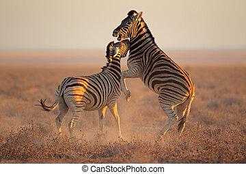 Fighting Zebras - Two Plains (Burchells) Zebra stallions...