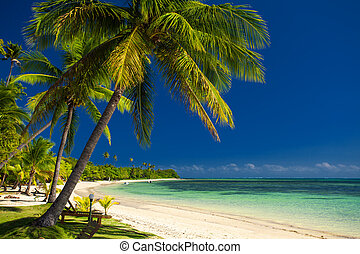 figi, albero, palma, spiaggia bianca, sabbioso