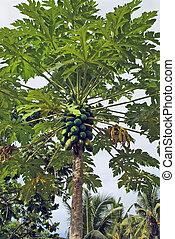 figi, isola, botanica