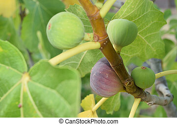 Figs almost ripe still on the tree