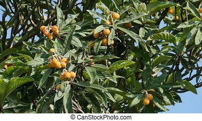 Figs Growing in Tree - Group of ripe figs grown in tree...