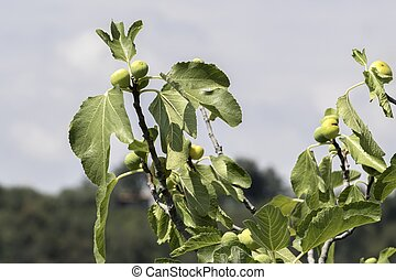 figs grows on tree