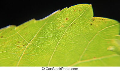 Figs leaf close-up - Green figs leaf structure close-up