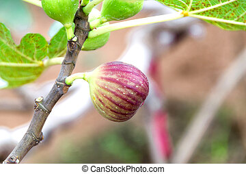figs on tree branch