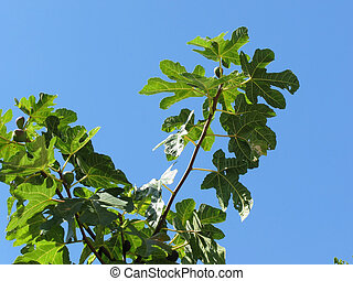 Figs on tree branches