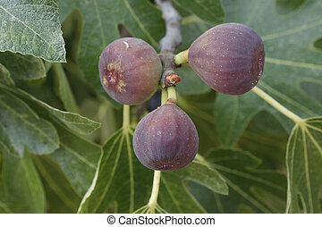 Figs - figs on a fig tree