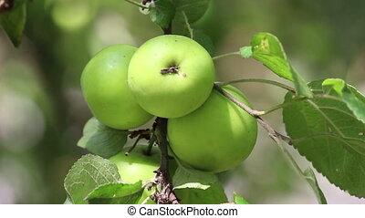 Figs, tree, closeup