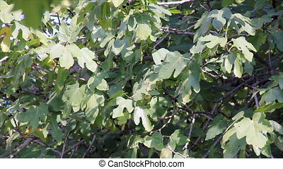 Figs tree leaves in sunlight - Dense thicket figs leaves in...