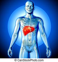 figura, render, médico, destacado, fígado, macho, imagem, 3d