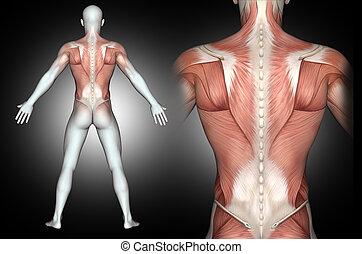 figure, muscles, dos, mis valeur, mâle, 3d, monde médical