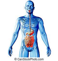 figure, render, monde médical, boyaux, mis valeur, mâle, image, 3d