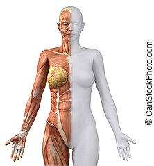 figuur, anteriror, anatomisch, vrouwlijk, positie, witte , aanzicht