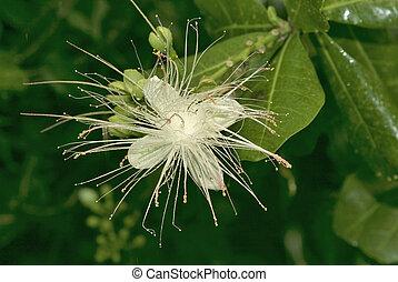 Fiji, botany - blossom of Barringtonia asiatica - a...