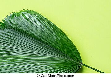 Fiji Fan Palm leaves on green background.