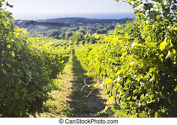 fila, de, hermoso, uva, yarda, antes, ocaso, con, montaña