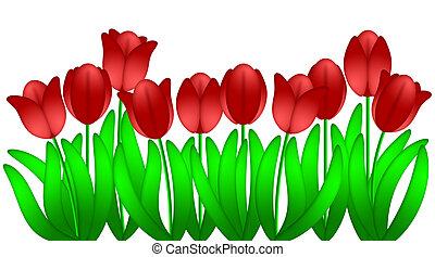 fila, de, rojo, tulipanes, flores, aislado, blanco, plano de...