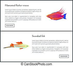 Filamented Flasher Wrasse Set Vector Illustration -...