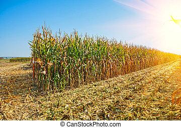 filas, campo milho, alto, colheita, amanhecer