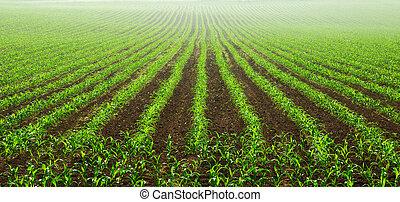 filas, de, jovem, milho, plantas