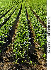 filas, de, nabo, plantas, em, um, campo